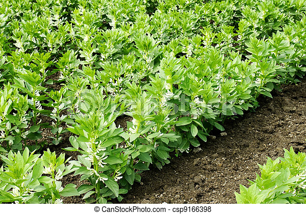 Growing broad or fava beans - csp9166398