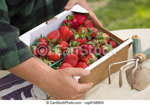 Farmer Gathering Fresh Strawberries in Baskets - csp9168904