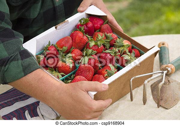 Farmer Gathering Fresh Strawberries in Baskets - csp9168904