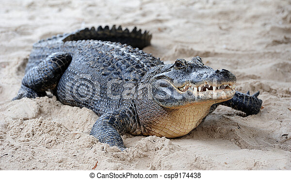 Alligator closeup on sand - csp9174438