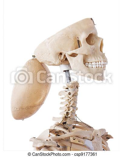 Skeleton with open cranium - csp9177361