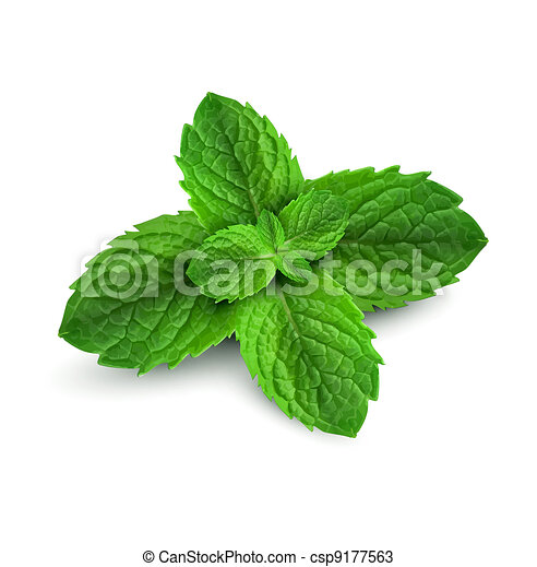 Drawings of fresh mint leaves on a white background ...