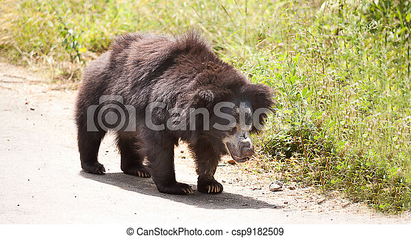 sloth bear - csp9182509