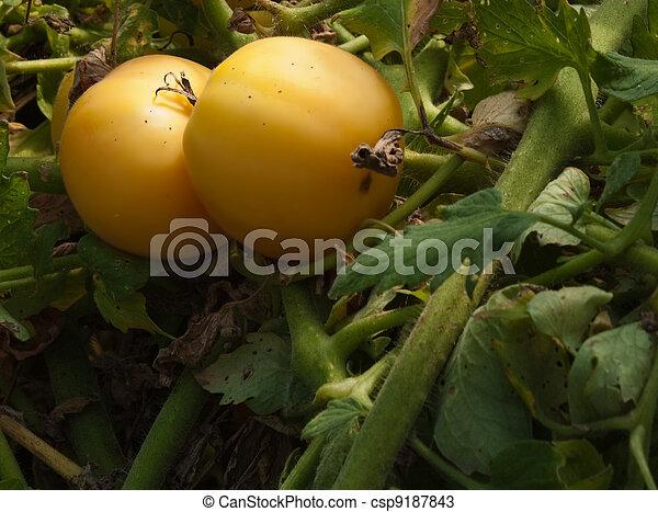 Pair of yellow tomatoes - csp9187843