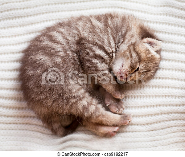 Newborn sleeping british baby kitten - csp9192217