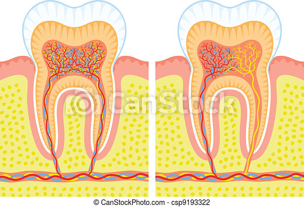 Internal structure of tooth - csp9193322