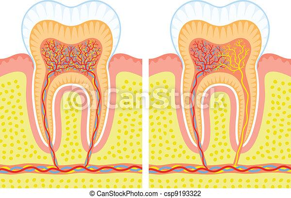 interno, estructura, diente - csp9193322