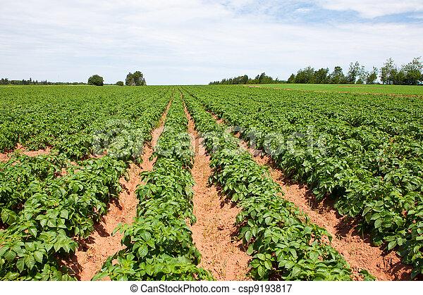 Potato plants - csp9193817