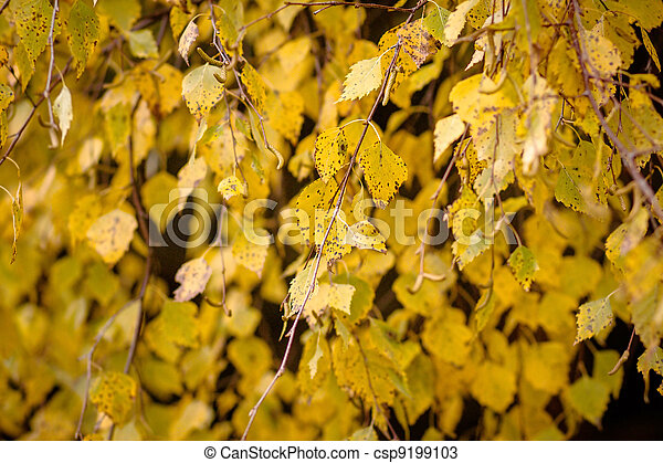 Autumn colors of birch leaves - csp9199103