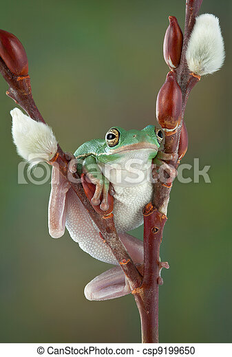 Tree frog on Pussy Willow - csp9199650