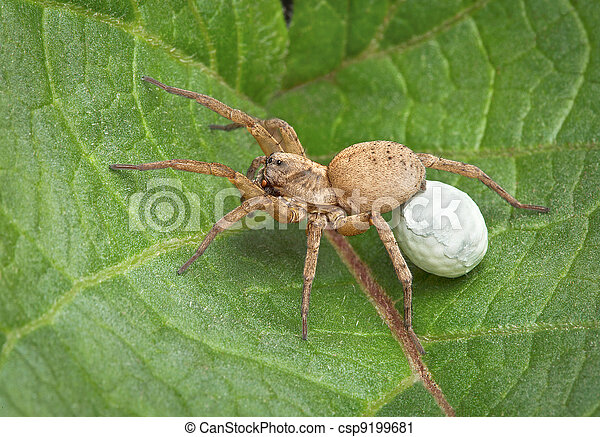 Female wolf spider is carrying an egg case under her body when the