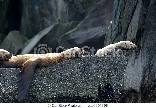 Stellar sea lions - csp9201696