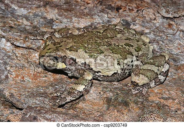 Gray Treefrog - csp9203749
