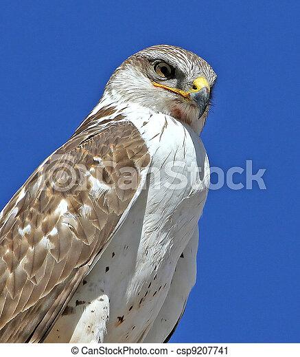 Ferruginous Hawk juvenile - csp9207741