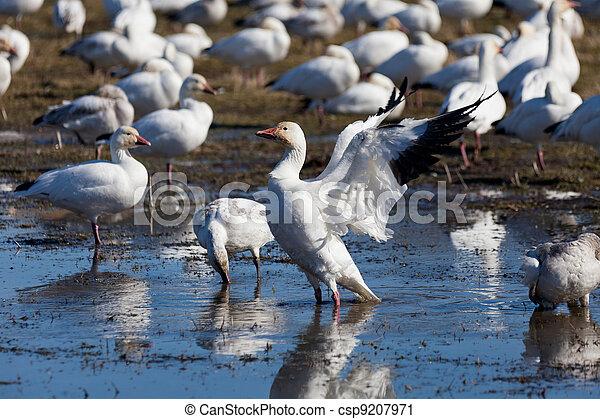 Snow Goose - csp9207971