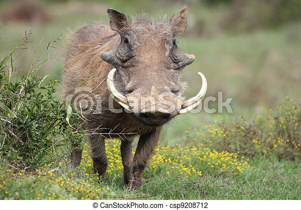 A warthog with big tusks in Addo - csp9208712