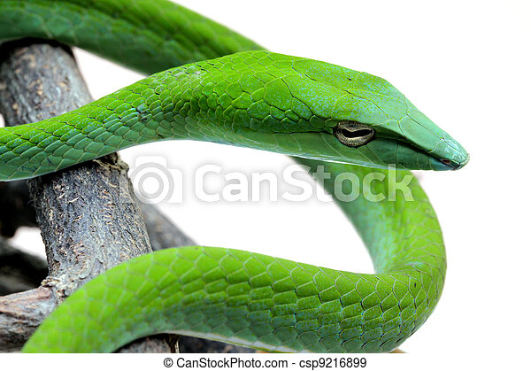 The Rough Green Snake with half body Isolated on White - csp9216899