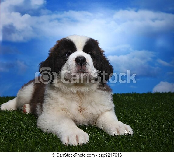 Adorable Saint Bernard Pups  - csp9217616