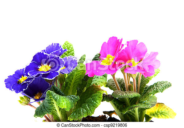 Colorful Primula flowers in closeup - csp9219806
