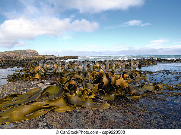 Kelp covered coast, rocks, sea - csp9220508