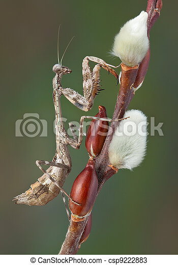 Mantis on pussy willow - csp9222883