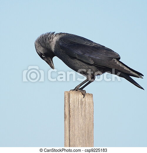 Jackdaw, Corvus monedula - csp9225183