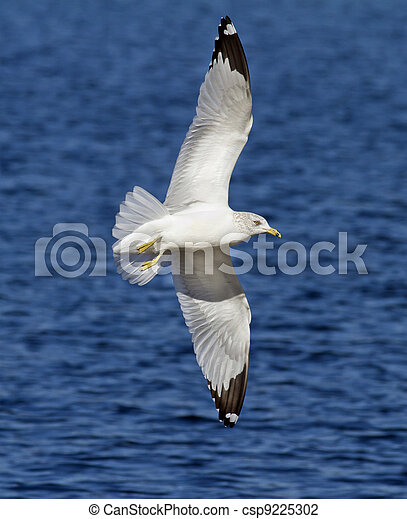 Seagull in Flight Wing Spread - csp9225302