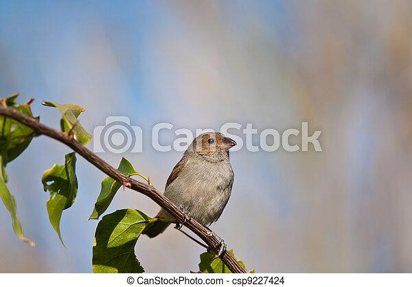 Female Lesser Antillean Bullfinch perched on a branch. - csp9227424