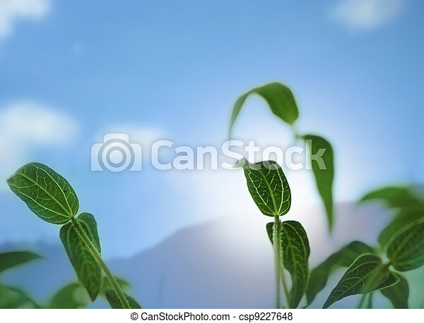 Bean sapling lit by sunlight with background sky - csp9227648