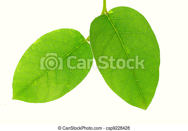 Close-up of two green leaves isolated on white background - csp9228428