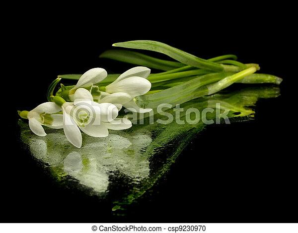 Spring snowdrop flowers - csp9230970