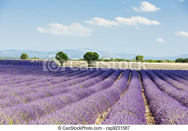 lavender field, Plateau de Valensole, Provence, France - csp9231587