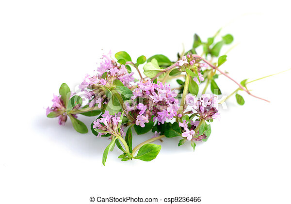thyme isolated - csp9236466