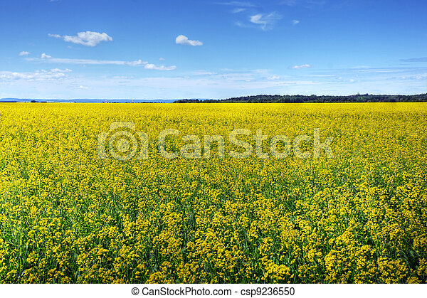 Canola or rapeseed cultivated field - csp9236550