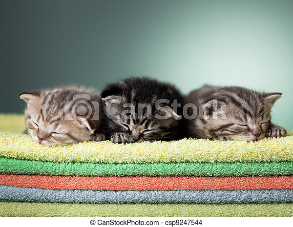 Three sleeping scottish baby kitten on stack of colorful towels - csp9247544