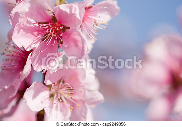 Gorgeous spring cherry flowers in sunshine. - csp9249056