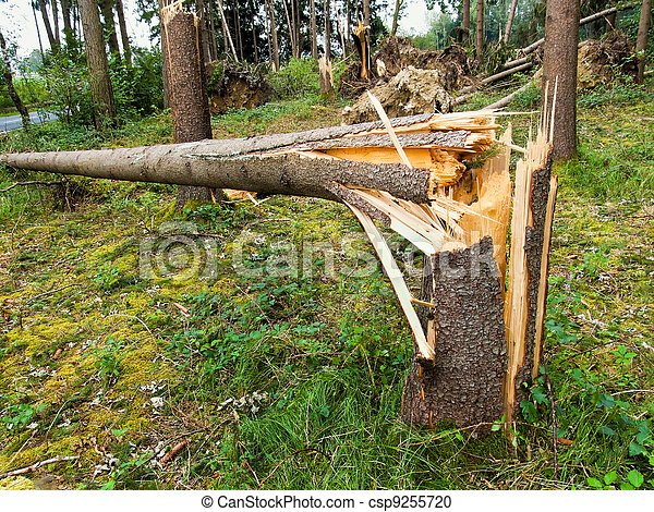 storm damage. trees in the forest after a storm. - csp9255720