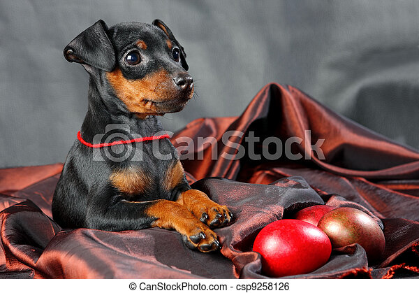 Miniature Pinscher Puppy - csp9258126
