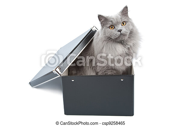 british cat in black box isolated - csp9258465