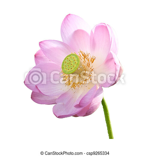 Isolated Lotus on the stem