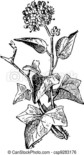 Ivy or Hedera sp., vintage engraving - csp9283176