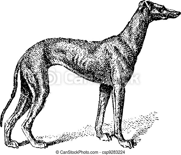 Greyhound, vintage engraving - csp9283224