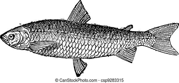 European Whitefish or Coregonus lavaretus, vintage engraving - csp9283315