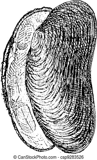 River Mussel or Unio sp., vintage engraving - csp9283526