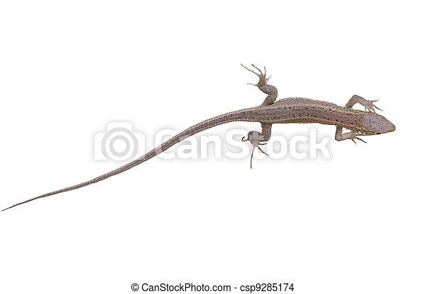 Green Lizard, juvenile, isolated - csp9285174