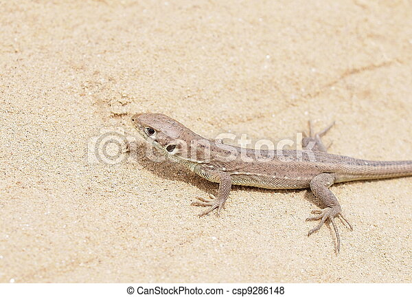 European Green Lizard, juvenile - csp9286148