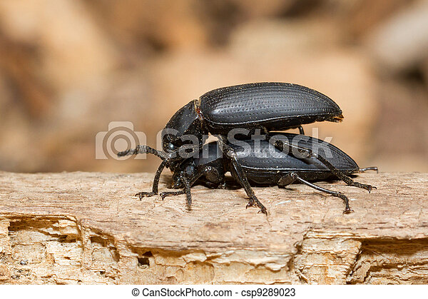 Pairing large black beetles  - csp9289023