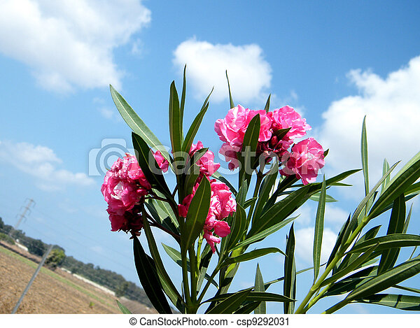 Or Yehuda Red Oleander 2010 - csp9292031