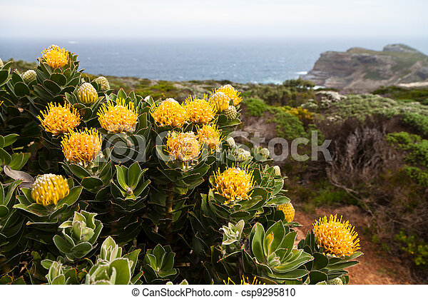 Protea flowers growing on the rocks - csp9295810