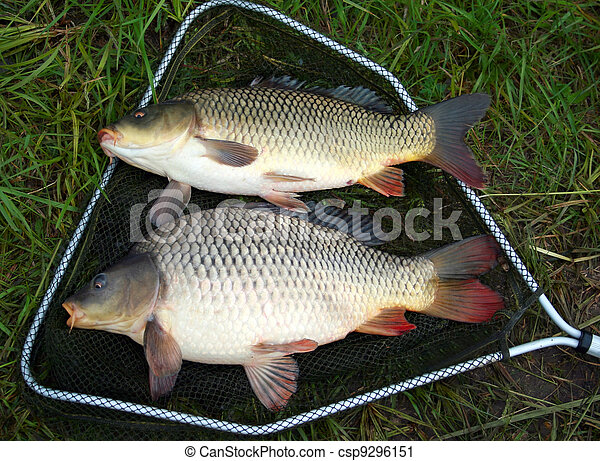 catch carp - csp9296151